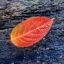 Blad_Hydrangea_paniculata